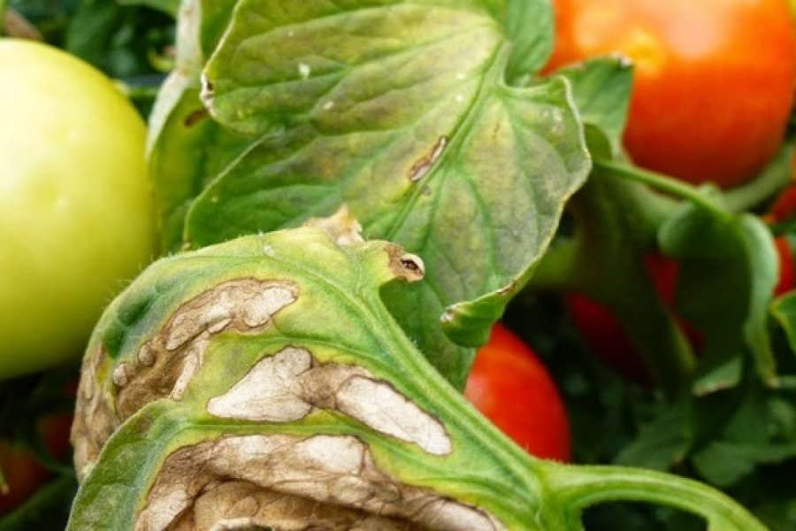 Choroby a škodcovia rajčiakov